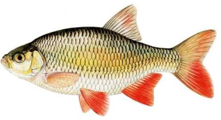 Vissen voor jeugd for Nom poisson rouge